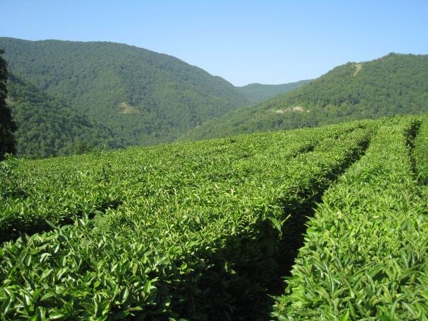 Там, где живет чай